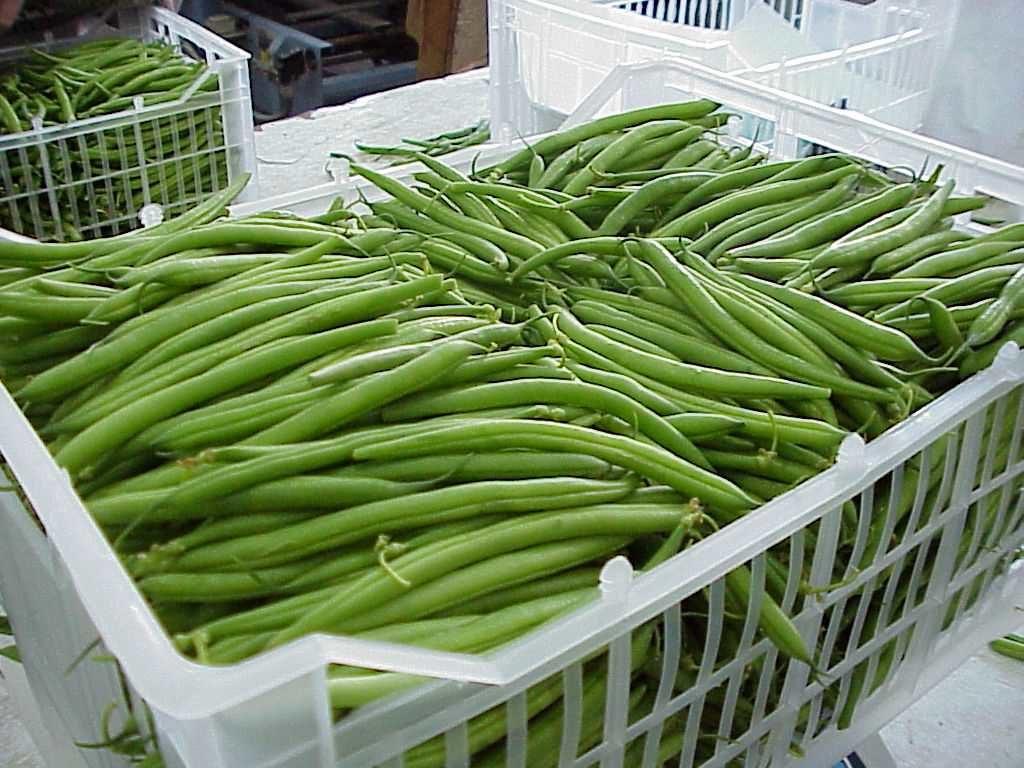 green beans export